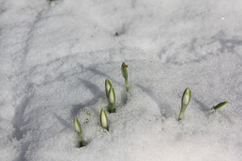Perce neige pointées