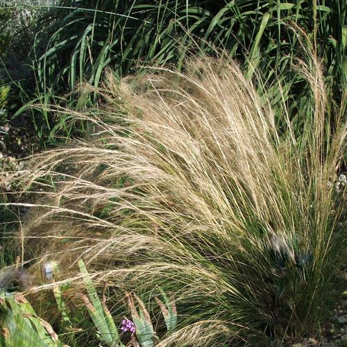 Cheveux-d'ange''stipa-tenuifolia'