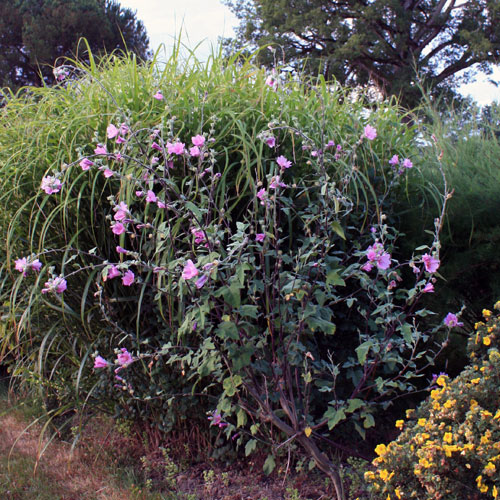 Lavatere-arbustif-rose