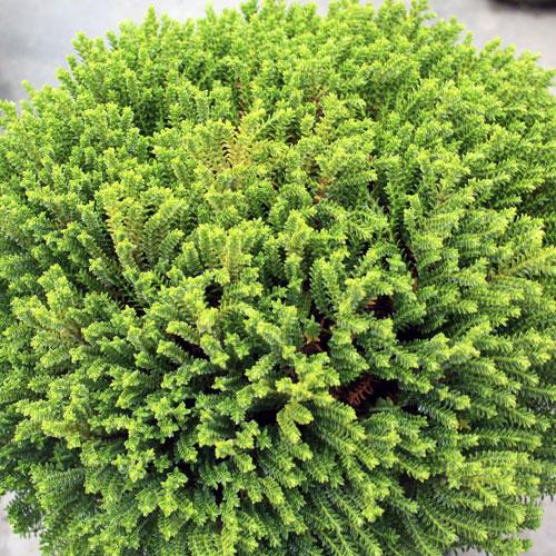 Hebe-esmerald-green-(2)