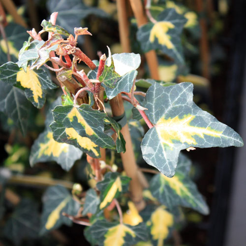 Hedera-helix-gold-heart