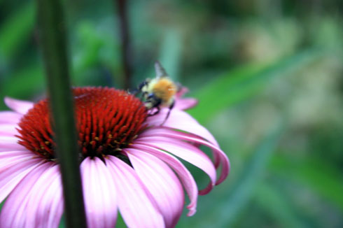 Rudbeckia abeille