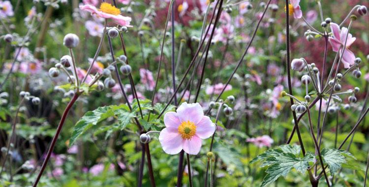 Anémone-jap-rose-IMG_7872
