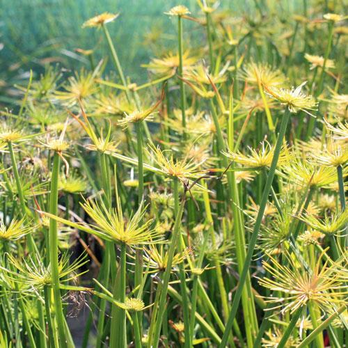 Allium-shubertii