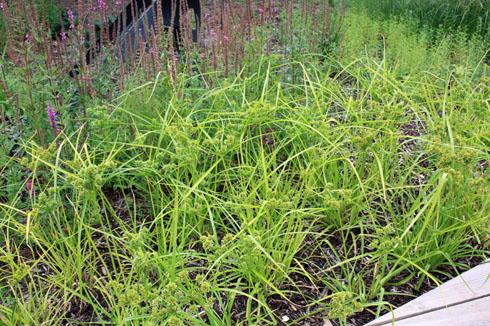 Carex massue IMG_7327