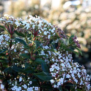 Viburnum-tinus-fleur