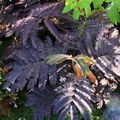 Albizia-jul-summer-chocolate081010IMG_0272