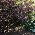 Physocarpus-diabolo1805102010_05_18_wambrechies098
