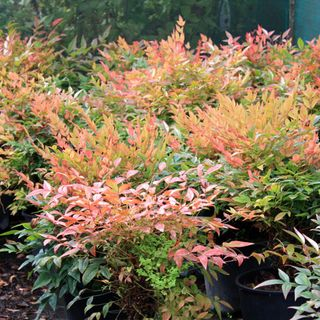 Nandina-domestica-gulstream260810IMG_8681