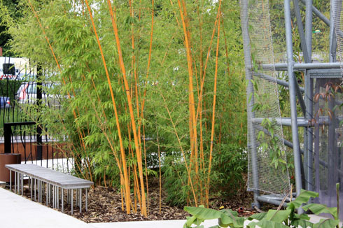 Phyllostachys bambusoides IMG_7315