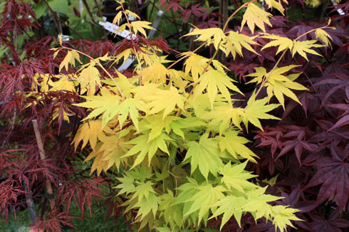Feuillages pourpres ou foncés: comment les associer au jardin?