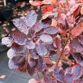 Cotinus-royal-purple281010ctinus-royal-purple281010IMG_1604