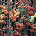 Malus-evereste081010IMG_0758