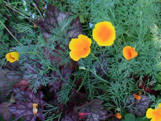 Pavots-californie260610IMG_4116