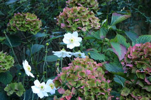 Asso hortensia anemone jap blanc270911IMG_2890