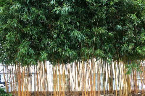 Haie de bambous en ville - Place des Jardins