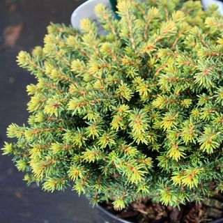 Picea-abbies-little-gem-1