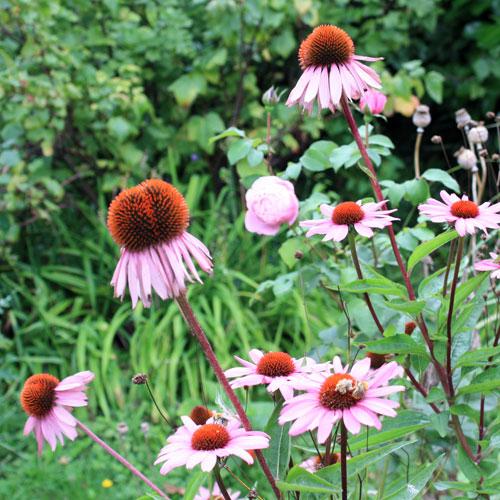 Echinacea en graines