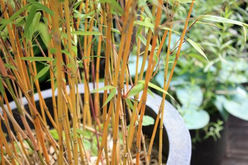 Bambou-fargesia-20120711-2012_07_11_9999_7