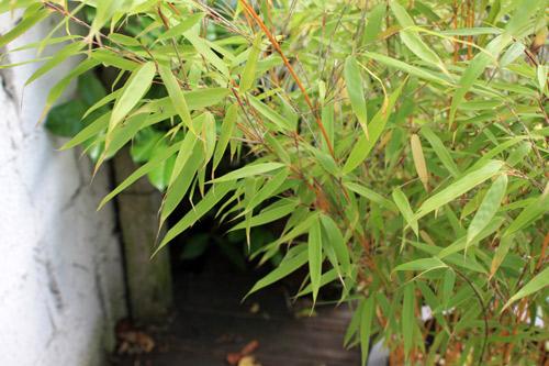 Bambou-fargesia-20120711-2012_07_11_9999_5