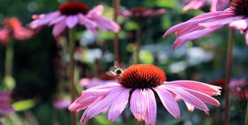 L'echinacea est une plante mellifère